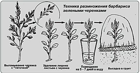 Размножение кустарника барбариса черенками