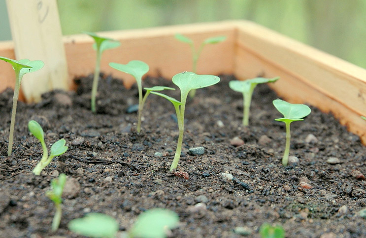 Ростки капусты белокочанной с двумя листками