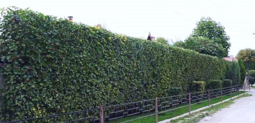 Шпалерная живая изгородь из боярышника
