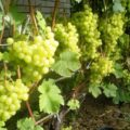 Саженцы винограда Алешенькин для посадки на даче