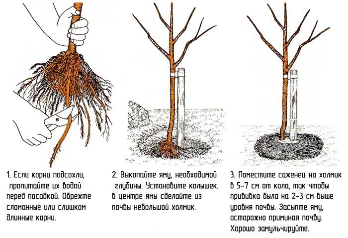 Схема посадки черенка абрикоса в грунт