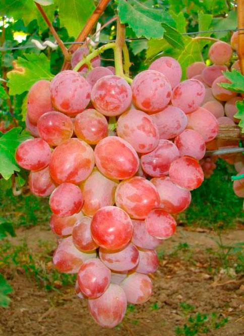 Сорт винограда Аркадия розовая