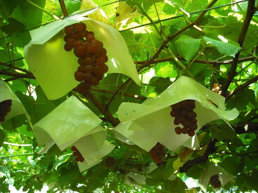 Советы как самостоятельно уберечь виноград от ос