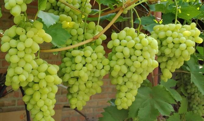 Виноград Лора особенности и характеристики сорта