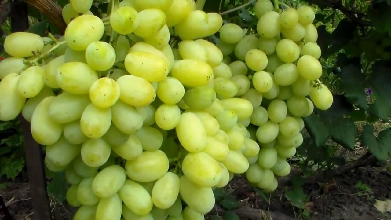 Виноград Лора с ранним сроком дозревания