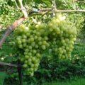 Виноград аркадия посадка и уход