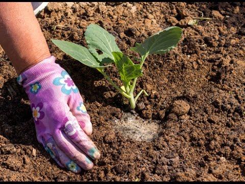 Выращивание капусты белокочанной из рассады в открытом грунте на даче