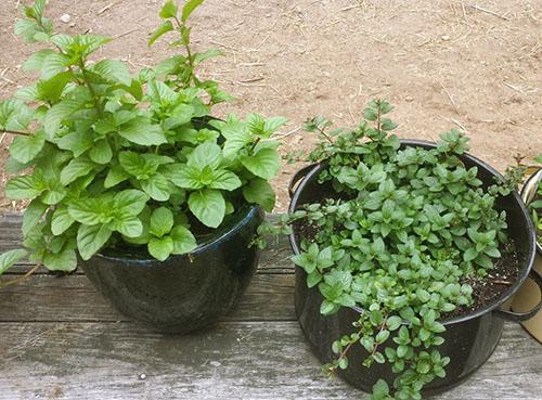 Выращивание мяты на окне дома