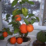 Апельсин в домашних условиях из косточки