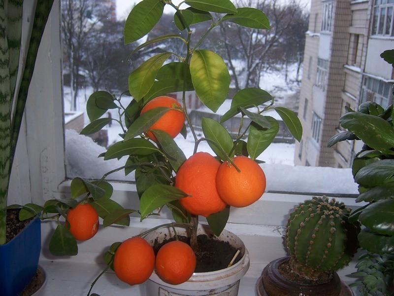Вырастет ли апельсин из косточки в домашних условиях