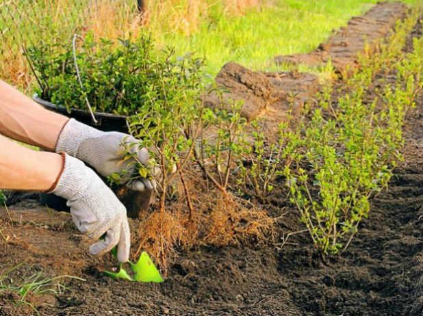 Высадка молодых кустиков бабариса в открытый грунт