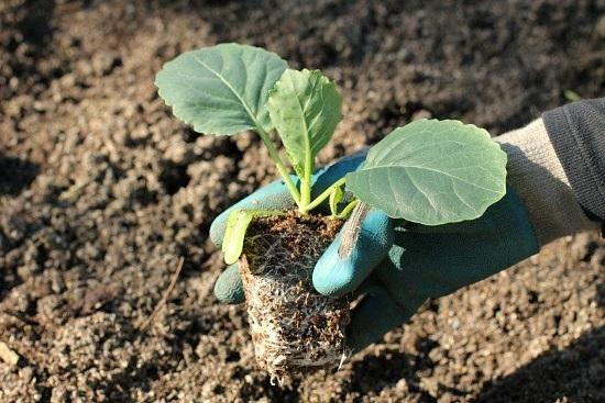 Высадка ростка капусты белокочанной в открытый грунт полезные советы