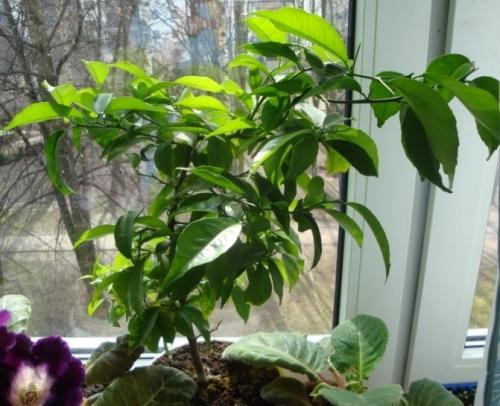 Взрослое деревце апельсина выращенное в домашних условиях из косточки