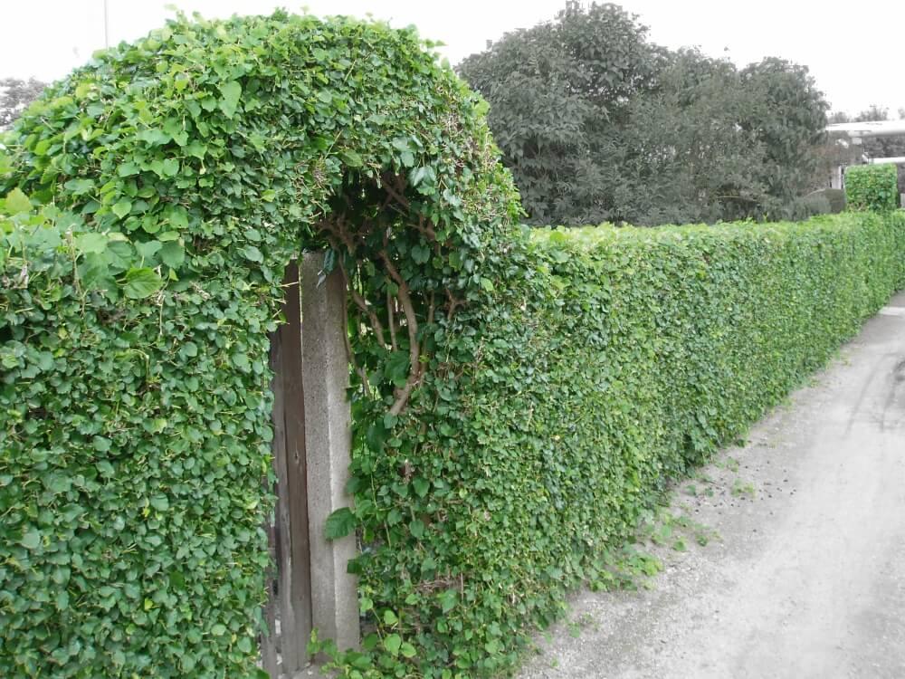 Живая изгородь из боярышника на загородном участке
