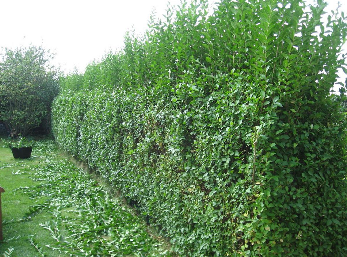 Живая изгородь из кустарников боярышника для дачи