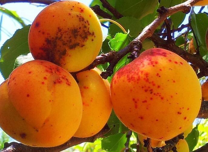 Заболевание абрикоса паршей - профилактика и лечение