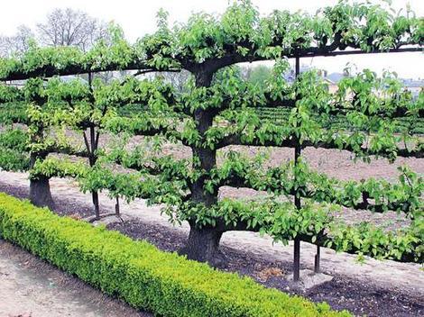 Забор из подручных материалов - зеленая шпалерная изгородь