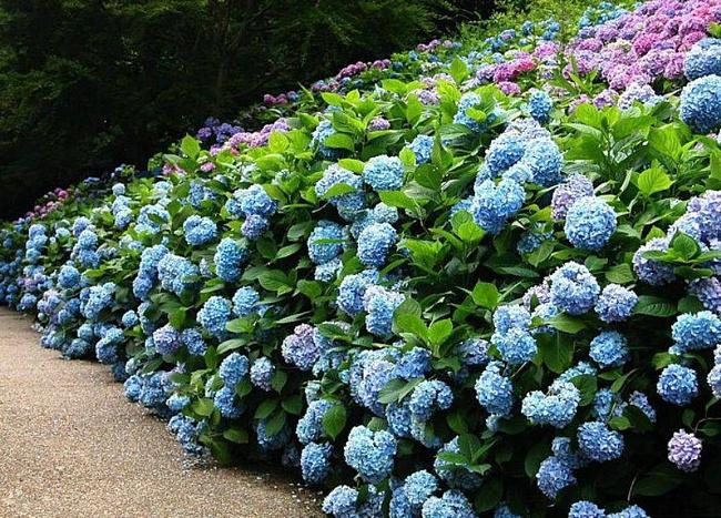 Забор из подручных материалов - живая изгородь из цветов