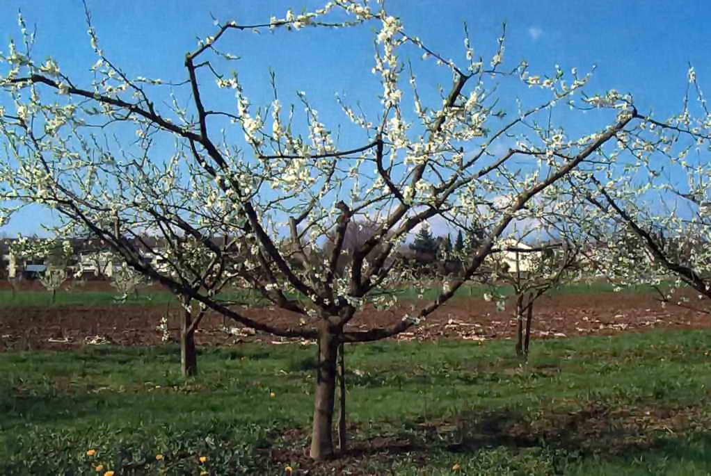 Абрикос ананасный - как самостоятельно сформировать крону дерева