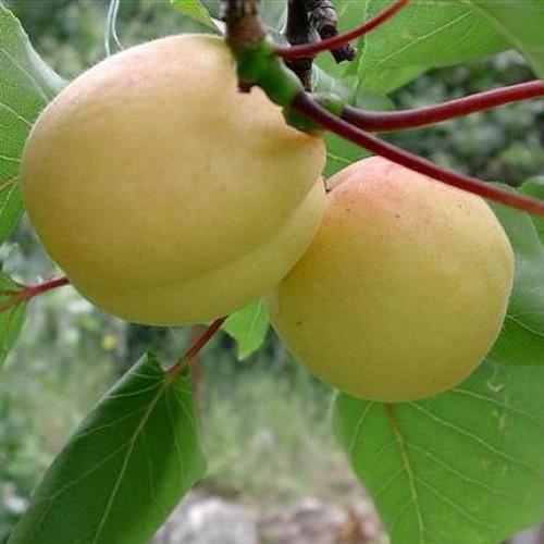 Абрикос ананасный - как вырастить абрикосовое дерево на садовом участке