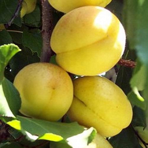 Абрикос ананасный - правила посадки саженцев