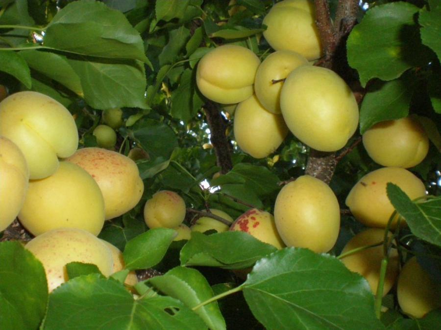 Абрикос ананасный - преимущества выращивания в фруктовом саду