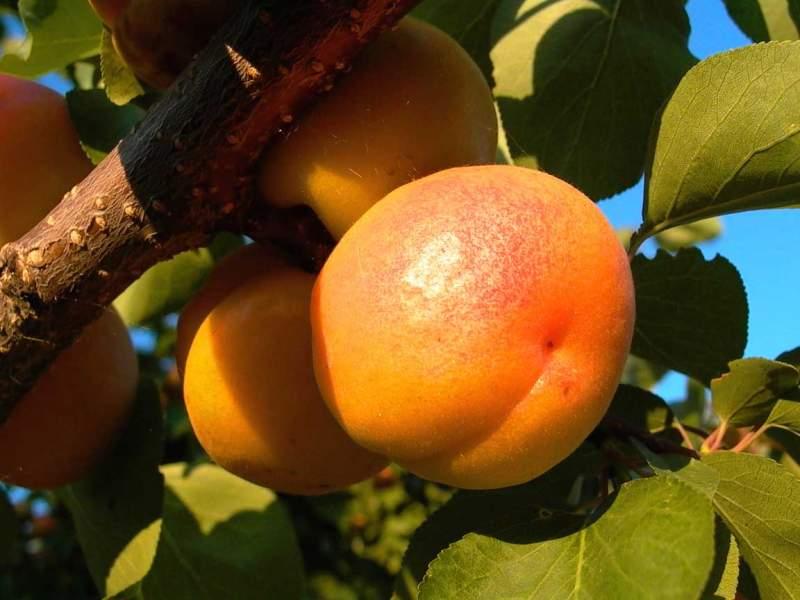 Абрикос ананасный - уникальный сладкий сорт абрикос