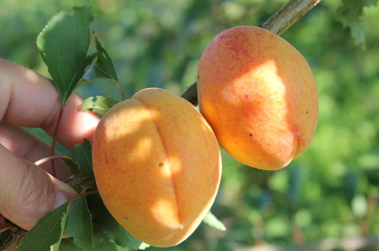 Абрикос ананасный - вкуснейший сорт фруктов