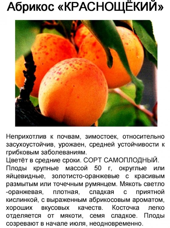 Абрикос краснощекий - полезная информация о сорте
