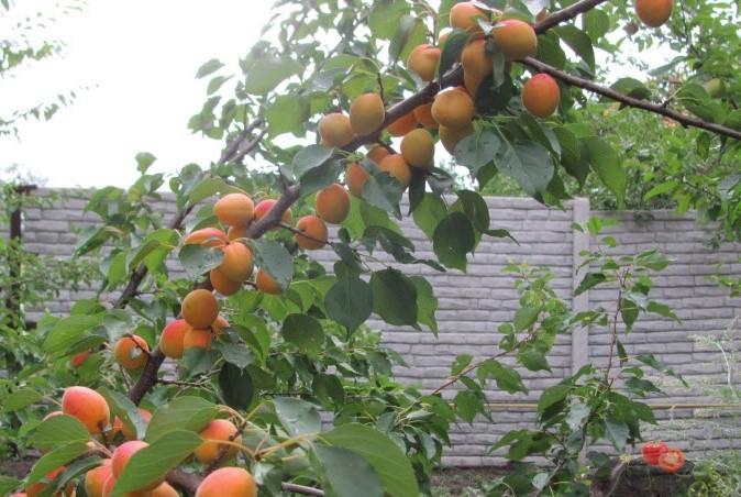 Абрикос краснощекий - посадка и уход за деревом
