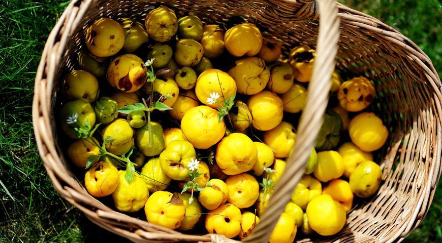 Айва когда созревает и плоды можно употреблять в пищу
