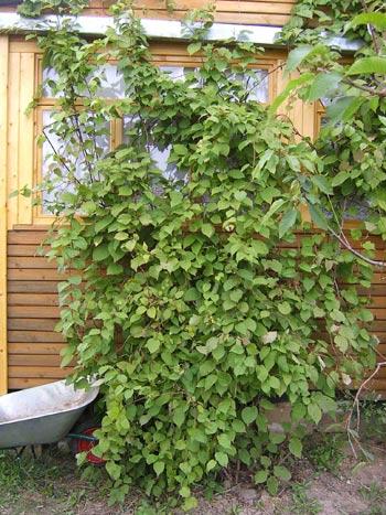 Актинидия коломикта, декоративная и ягодная лиана