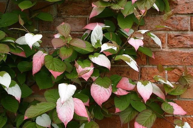 Актинидия коломикта - декоративная лиана для украшения загородного участка