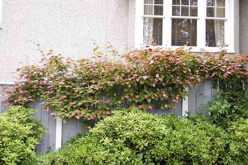 Актинидия коломикта - особенности выращивания растения, посадка и уход