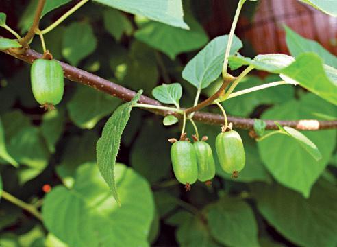 Актинидия коломикта - польза плодов лианы
