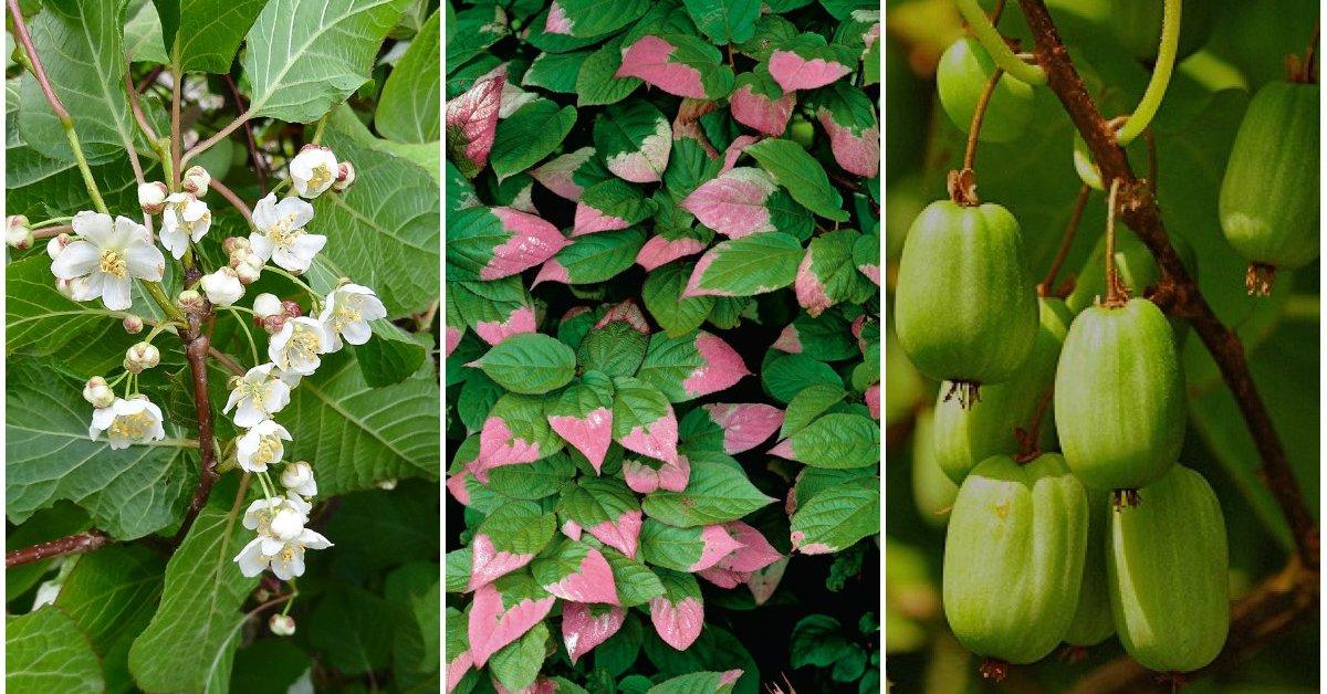 Актинидия коломикта - цветение, созревание плодов