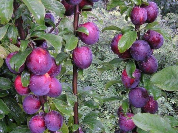 Алыча Колоновидная - как вырастить дерево на своем садовом участке
