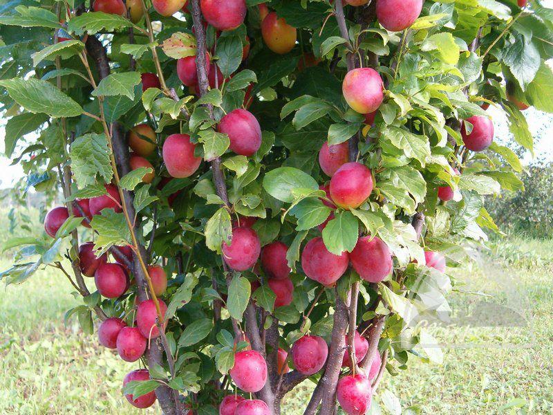 Алыча Колоновидная сорта Стела в период плодоношения