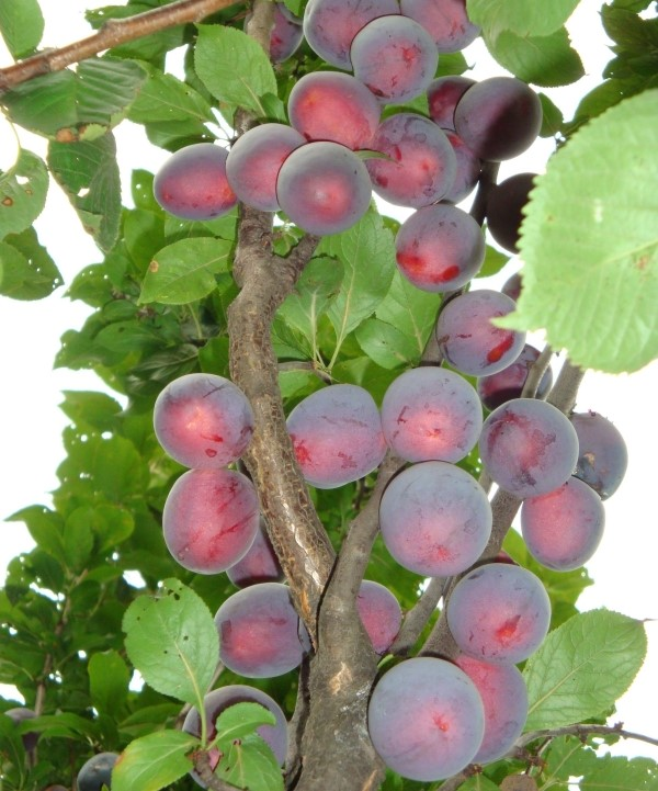 Алыча Колоновидная выращивание, уход, сбор урожая