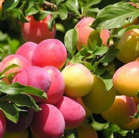 Ароматные плоды алычи колоновидной сорта Мирабелла