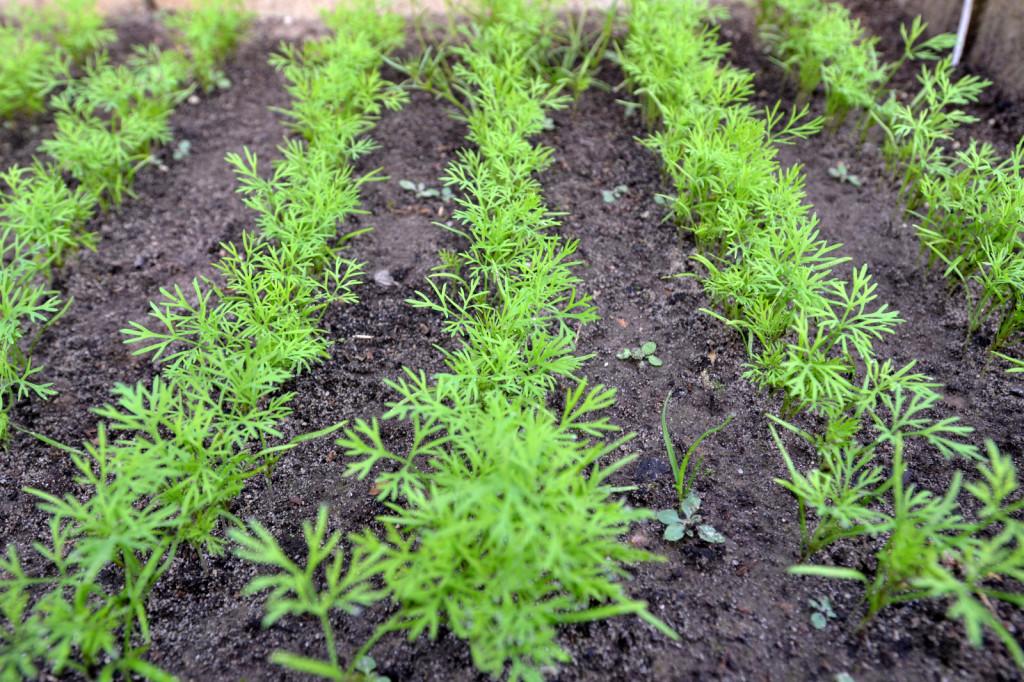 Ароматный укроп выращивание и уход в открытом грунте круглый год