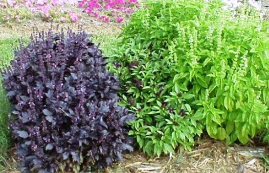 Базилик выращивание из семян - секреты дачников