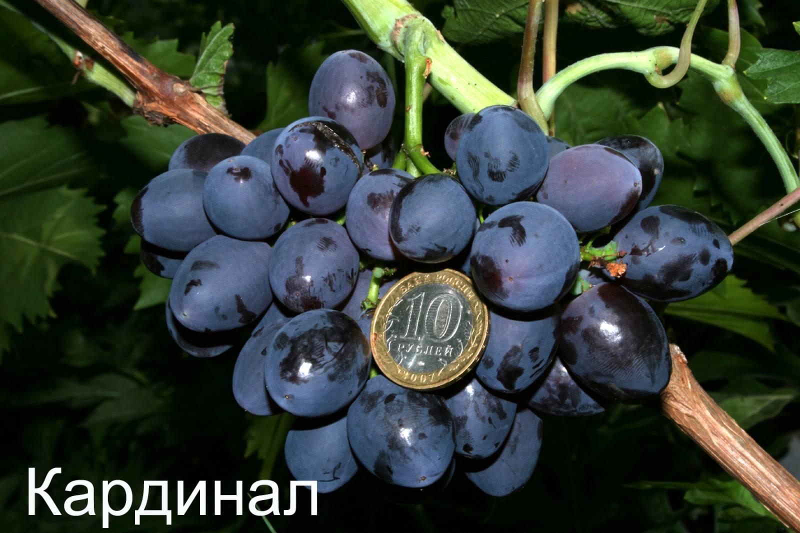 Большие и сочные ягоды винограда Кардинал