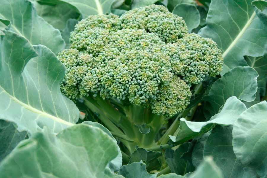Брокколи выращивание - как выглядит капуста в период цветения