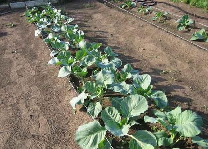 Брокколи выращивание - правильный уход за рассадой
