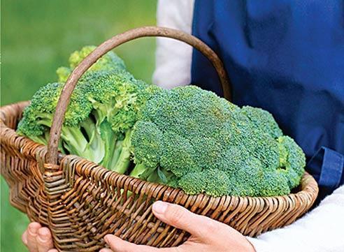 Брокколи выращивание, сбор и хранение урожая
