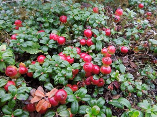 Брусника садовая - особенности культивации