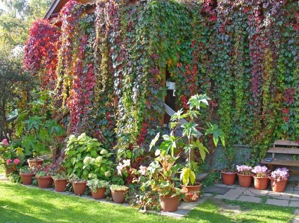 Декоративный виноград - украшение любого загородного участка
