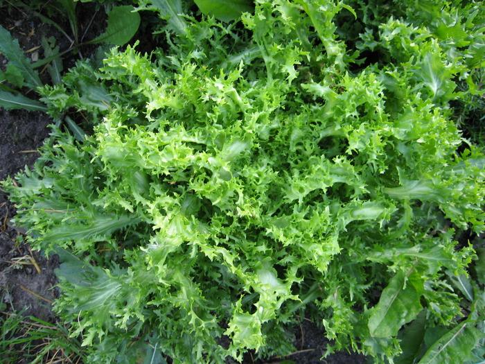 Эндивий выращивание из семян - особенности посадки и ухода