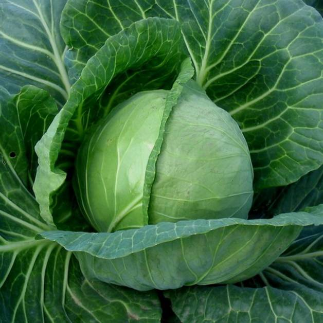 Гибридная Заря - ранний сорт белокочанной капусты